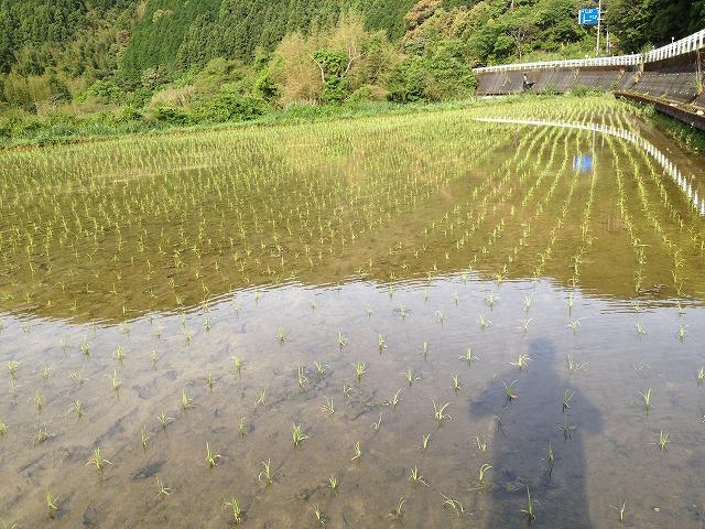 手植え後の田んぼ 三原村