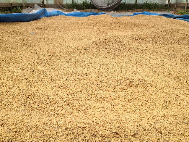 収穫した籾 三原村